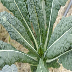 Image of Kale Seeds (100 Per Packet) - Indoor & Outdoor