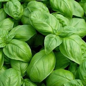 Image of Italian Basil Seeds (100 Per Packet) - Indoor & Outdoor